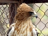 Booted Eagle, pale morph