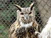 Eagle Owl female