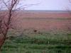 A Steppe Eagle
