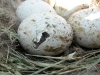 In this Long-legged Buzzard's nest a chick has broken the egg-shell