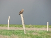 Steppe Eagles try to choose places with a good view for their perches.