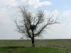A nest of the Long-legged Buzzard on a solitary tree