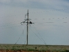 Long-legged Buzzards moved to power line poles for nesting