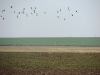 When our birds already sit on their nests, in the steppe there is migration of geese