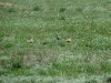 Migratory Dotterels in the steppe