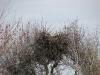 A Steppe Eagle on a nest