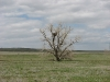 The same nest of the Imperial Eagle on a solitary tree