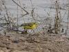 Yellow Wagtail, subspecies Motacilla flаva beema