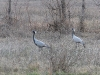 Demoiselle Cranes near the road