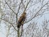 A juvenile Imperial Eagle