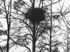 A nest on the young pine-tree (vicinity of Trakhtemirov Village in Cherkasy region, April 1994).
