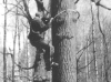 Climbing the tree (M.Gavrilyuk, Kyiv region, April 1995).
