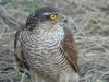 Sparrowhawk female helped us to watch migrants