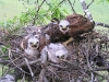 A nest of Long-legged Buzzard with chicks