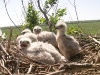 Chicks of Long-legged Buzzard