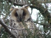 Male of the Long-eared Owl