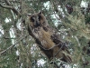 Long-eared Owl at the day's roost