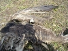 Remains of the young Imperial Eagle died on a pole of power line