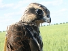 A young Saker Falcon with the satellite transmitter