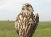 Saker's fledglings
