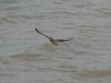 A Saker Female is flying away the nest