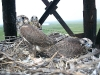 In this nest two chicks were marked with satellite transmitters