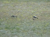 Demoiselle Cranes with chicks