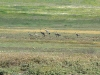 Common Cranes in the steppe