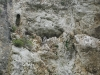 A nest of the Saker Falcon in the rocky niche