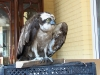 The Osprey shot in Chernyhiv region and given to Mensky Zoo (photo from website http://www.gorod.cn.ua/news_29300.html )