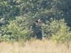 The  Montagu's Harrier male