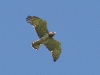 A female of the Short-toed Eagle