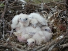 Chicks of Saker Falcon