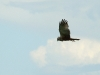 Male of Marsh Harrier on hunting