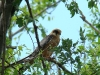 A female of Red-footed Falcon at the nest