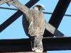 Saker fledgling