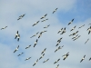 A flock of White Pelicans