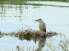 Night Heron hidden