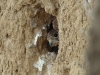 Chicks of Kestrel are looking out of the nesting hole