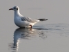 Black-headed Gull (R.Vatrasevich)