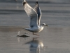 Common Gull is flying off (R.Vatrasevich)