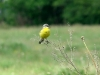Yellow Wagtail is a common species in the Zdvyzh valley