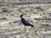 A Lapwing leads away from chicks