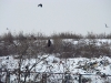 A Common Buzzard at the city dump
