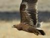 Молодой степной орел, Казахстан, 2013 г.