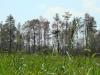 Сухой лес – результаты осенних пожаров в 2015 г., но гнездо заселено