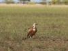 Мічений сип білоголовий біля заповіднику «Асканія-Нова». Фото Г.Молодан