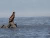 Молодий орлан-білохвіст на корчі серед багнюки