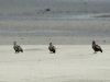 Молоді орлани-білохвости