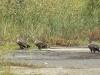 Дорослі й молодий орлан біля очерету
